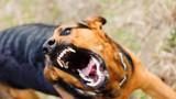 Породисто куче нахапа жена в Дряновец
