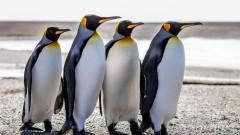 И кралските пингвини са застрашени от изчезване