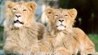 """Пращаме две """"държавни"""" лъвчета в Южна Африка"""
