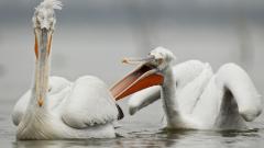 """В """"Сребърна"""" се излюпиха първите пеликанчета за 2019 г."""