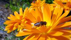 Разширяват програма Пчеларство