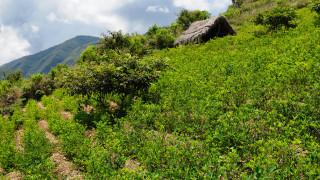 Производството на кокаин в Колумбия с ръст от 31%