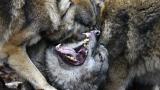 Вълци нападнаха кюстендилско село