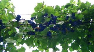 В края на август ще се разбере каква е гроздовата реколта