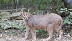 Най-скокливата дива котка скочи в зоопарка в Стара Загора