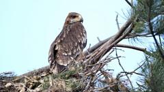 Новo гнездо на царски орел откри екип на БДЗП