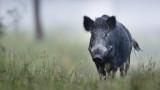 Масов отстрел на дивите прасета започва в област Добрич