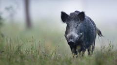 Няма да удължават сезона за групов лов на дива свиня
