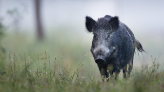 Първи случаи на чума по диви свине в Кюстендилско