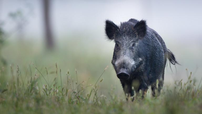 Морето изхвърли труп на дива свиня в Балчик