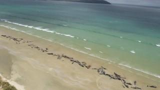Масова смърт на белуги на плаж в Нова Зеландия