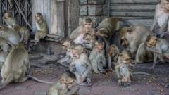 Хубав телефон: Мародерстващи маймуни в Бали крадат ценни предмети срещу откуп