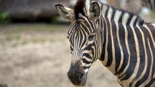 И зебрите са на изчезване