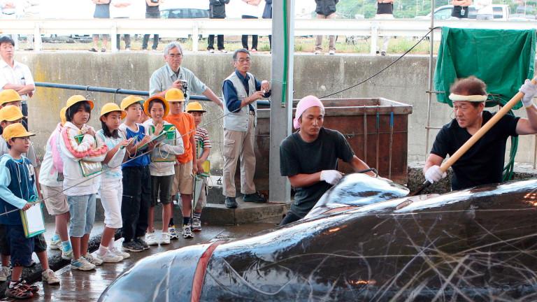 Япония възобновява търговския улов на китове