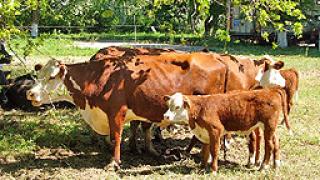 Последен ден за заявления от произвеждащи сурово краве мляко