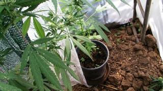 Задържаха двама 60-годишни земеделци на марихуана
