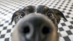 Могат ли кучетата да надушват коронавируса