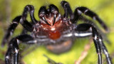 Отровните паяци в Австралия се завръщат