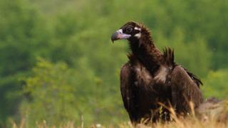 Рекорден интерес към опазването на черния лешояд