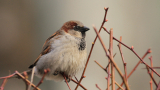 Пойните птички у нас чезнат със застрашителни темпове