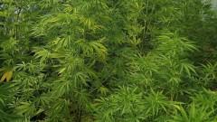 Над 700 кг марихуана откриха в имот в Благоевградско, двама задържани
