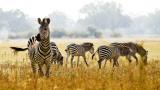 Защо зебрите имат ивици