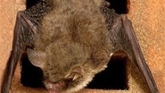 ООН обяви 2011 за година на прилепите
