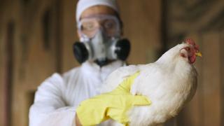 Регистриран е взрив на птичи грип в Непал