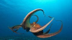 Откриха четири нови вида октоподи в Антарктика