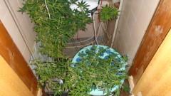 Разкриха оранжерии за канабис в Черноморец и Севлиево