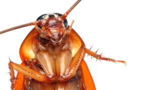 Гигантски хлебарки заплашват човечеството