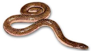 Зачестиха ухапванията от змии във Варненско