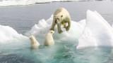 Мрачната прогноза за бъдещето на полярните мечки