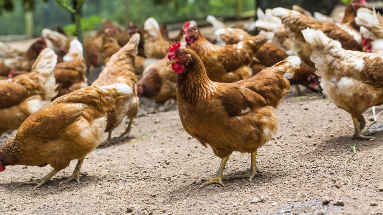 Умъртвиха 3 500 птици заради птичи грип