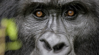 Критично застрашените животни - новите жертви на Covid-19