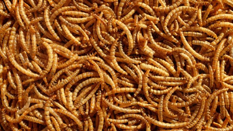 Хората могат да консумират червеи, разреши евроагенция