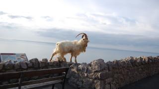 Голямото преселение на козите