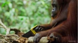 Орангутан се научи да реже с трион (ВИДЕО)