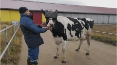Руски крави с очила за виртуална реалност за по-голямо щастие и по-добро мляко