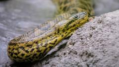 Избягалата змия в Пловдив не можела да нанесе по-големи щети от котка