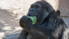 Почина една от най-възрастните горили в света