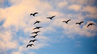 Как се ориентират птиците, когато отлитат на юг