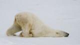 Изтощена до крайност бяла мечка намерена на 700 км от хабитата си в руско село