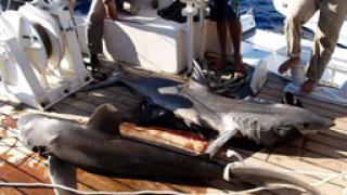 Акула разкъса на две сърфист