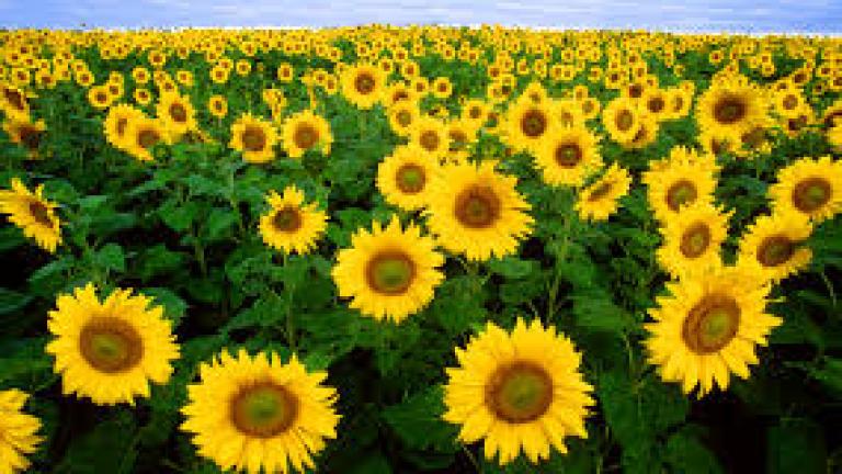 Рекордна реколта от слънчоглед в Русия, Украйна и ЕС