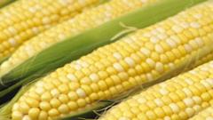 Консумираме генномодифицирани соя, царевица, рапица