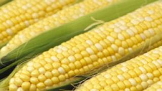 Рекордно ниски добиви на царевица и слънчоглед в ловешко