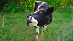 Евросъдът: Държавите могат да задължат зашеметяване на животните преди клане