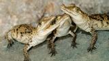 Крокодилите се катерят по дървета