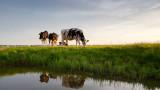 Радикалните планове на Нидерландия за намаляване на добитъка